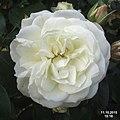 Rose (SG) (21508210043).jpg