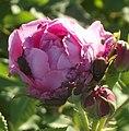 Rose Flower and Phyllopertha horticola.jpg
