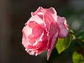 Rose in the sunshine (9519717870).jpg
