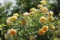Roses at Ishida Rose Garden.jpg