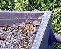 Rotschwänzchen beim Sonnenbad oder Federnreinigung.jpg