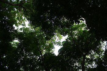 Rubbertrees.jpg