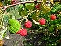 Rubus idaeus 2.jpg