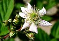 Rubus idaeus ENBLA01.jpg