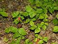Rubus saxatilis1 2006-07-25.jpg