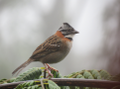Rufous-collared Sparrow.png