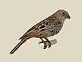 Rufous-tailed Weavor specimen RWD.jpg