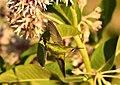 Rufous Hummingbird (juvenille male) on Seedskadee National Wildlife Refuge (28373224602).jpg