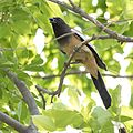 Rufous Tree Pie.jpg