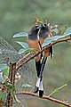 Rufous treepie (Dendrocitta vagabunda vagabunda) Jahalana 7.jpg