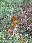 Ruhland, Grenzstr. 3, Birnengitterrost auf Wacholder, aufgequollene Sporenlager, 05.jpg