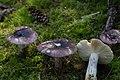 Russula cyanocantha (29958561722).jpg