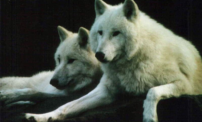File:S166 Polar Wolf-Heildelberg Zoo 2005.jpg