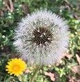 SSS's pic of a dandelion seedhead.jpg