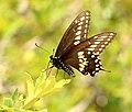 SWALLOWTAIL, BLACK (Papilio polyxenes) (8-12-2018) upper humboldt canyon, patagonia mts, santa cruz co, az -01 (42221739120).jpg