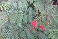SZ 深圳 Shenzhen 羅湖 Luohu District Wenjin North Road 洪湖公園 Honghu Park Dec-2017 IX1 紅蝴蝶 Caesalpinia pulcherrima 番蝴蝶 洋金鳳 黃蝴蝶 豆科 蘇木屬 red flowers green leaves plant 02.jpg