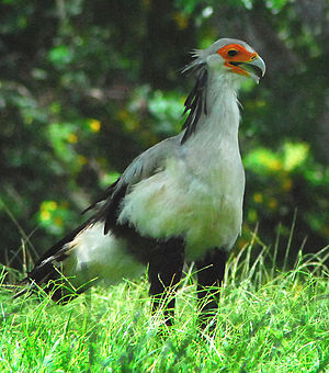 Honolulu Zoo - A secretary bird, one of the many birds featured at the zoo