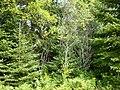 Saint-Alexandre-des-Lacs - forêt.JPG