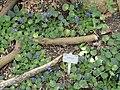 Saintpaulia - Copenhagen Botanical Garden - DSC07423.JPG