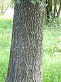 Salix alba bark (Andreas Plank).jpg
