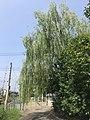 Salix babylonica near Kyushu Sangyo University 20190823.jpg