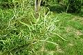 Salix exigua kz01.jpg