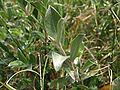 Salix repens ssp dunensis detail.jpeg
