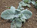 Salvia argentea 2016-05-17 0510.jpg