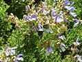 Salvia chamelaeagnea & Xylocopa caffra, Manie van der Schijff BT, b.jpg
