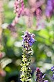 Salvia nemorosa Lubeca 2zz.jpg