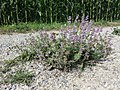 Salvia verticillata sl7.jpg