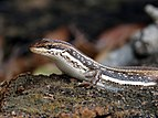 Sand Lizard Portland Bill.jpg