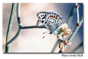 Sand Mountain (Nevada) - Sand Mountain blue butterfly