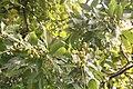 Sapindus Saponaria - Fruit 03.jpg