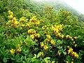 Sarı çiçekli ormangülü-1.jpg