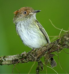 Scale-crested Pygmy-Tyrant 3.jpg