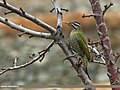 Scaly-bellied Woodpecker (Picus squamatus) (15784269934).jpg