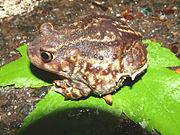 Scaphiopus holbrookii1.jpg