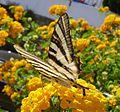 Scarce Swallowtail. Iphiclides podalirius feisthameli. - Flickr - gailhampshire (1).jpg