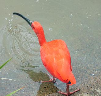 Ibis - Image: Scarletibis tj