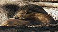 Schlafende Frischlinge Wildschwein Schwetzingen 2011.JPG