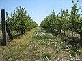 Schmergow-Apfelbaumplantage-01-05-2007-007.jpg