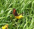 Schmetterling nach Regen.jpg