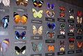 Schmetterlingsammlung.jpg