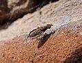 Sciomyzidae. Possibly Pherbina coryleti or Limnia unguicornis ? (35836196052).jpg