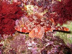 Une petite rascasse rouge, en Croatie