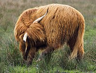 Scottish cow grooming.jpg