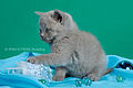Scottish fold , straight 05.JPG