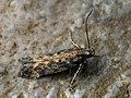 Scrobipalpa ocellatella - Beet moth - Выемчатокрылая моль свекловичная (40012930735).jpg