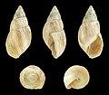 Scutalus bicolor polymorphus 01.JPG